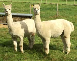 Alpacas at The Garden Chalet